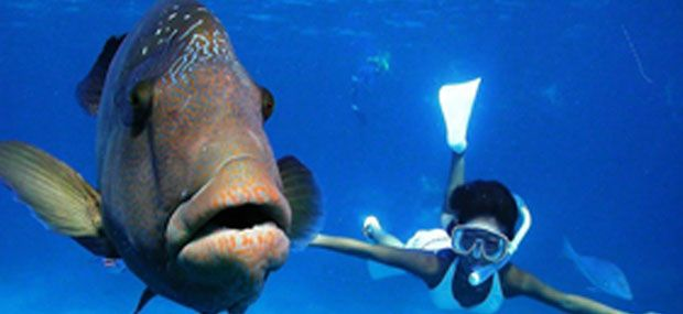 Great-Adventures-Great-Barrier-Reef-Cruise-to-Norman-Reef-Wally-The-Maori-Wrasse