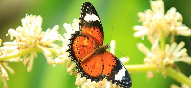 Australian-Butterfly-Sanctuary