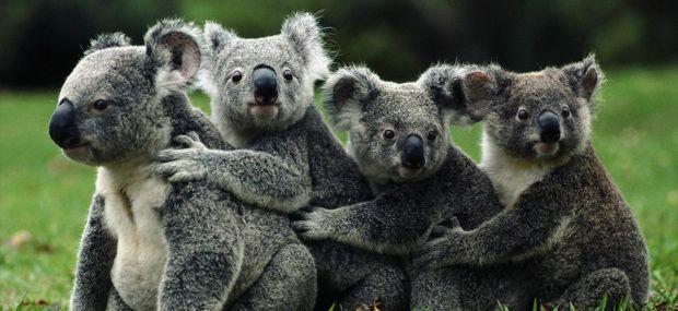 koala-gardens-kuranda.jpg