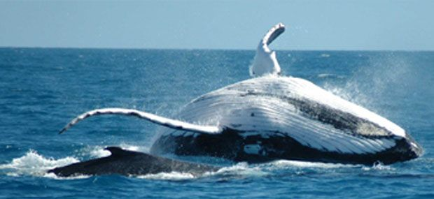 Whale-Watching-Gold-Coast-Whales-In-Paradise-Surfers-Paradise